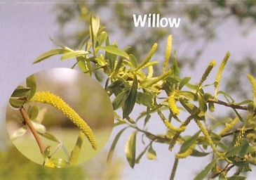 Willow - 10 ml  - Floressência