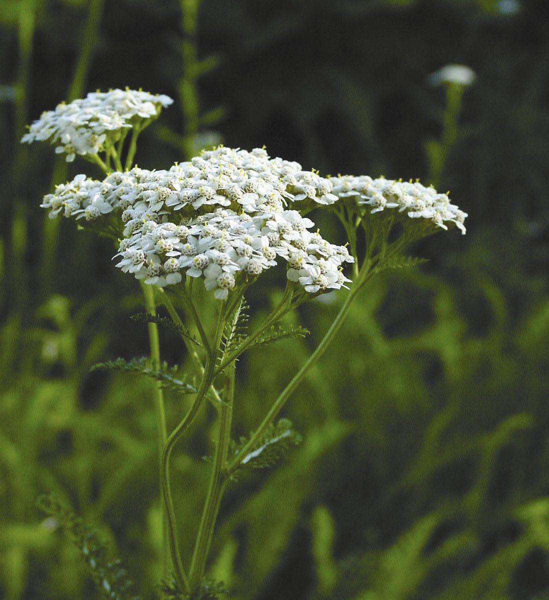 Yarrow - 7,5 ml  - Floressência