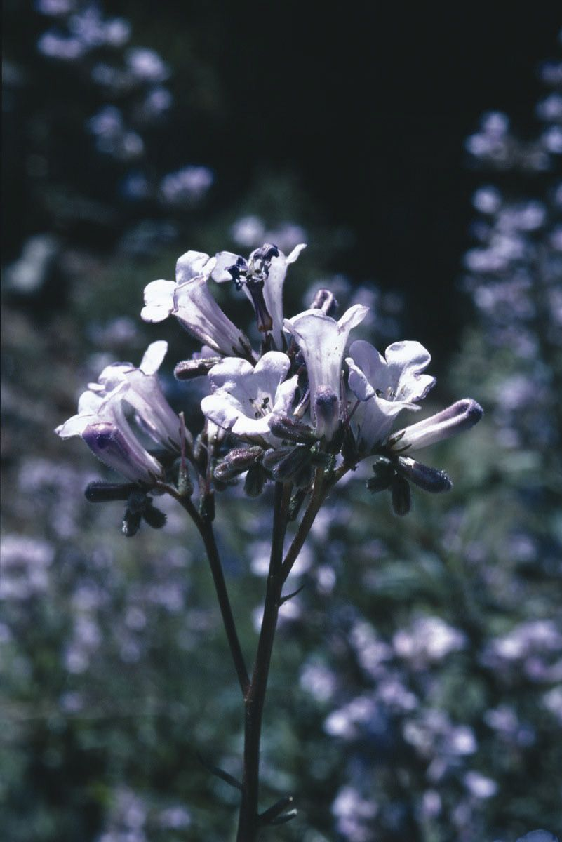 Yerba Santa - 7,5 ml  - Floressência