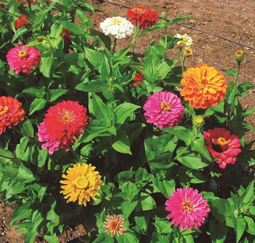 Zinias - Filhas de Gaia - 10 ml  - Floressência