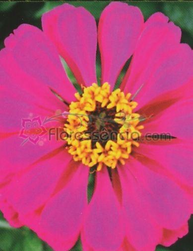 Zinnia - 10 ml  - Floressência