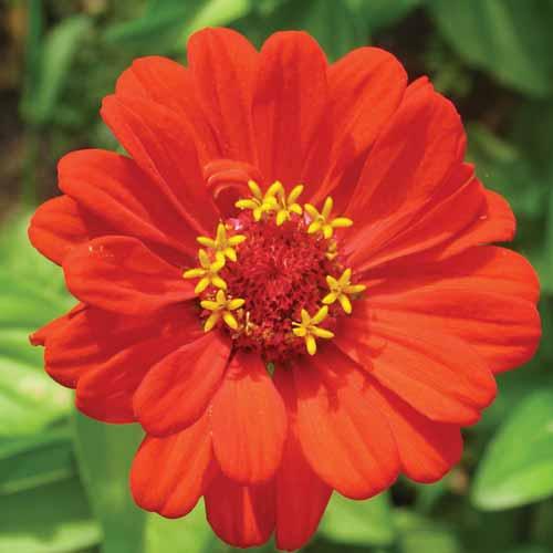 Zinnia  - Floressência