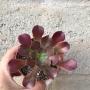 Aeonium arboreum baby