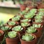 Aeonium aureum (grenovia aurea)