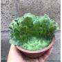 Aeonium Tabuleforme Cristata  (cuia)