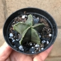 Astrofhytum nudum