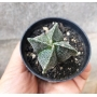 Astrophytum Quadricostatum