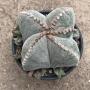 Astrophytum quadricostatum (coleção)