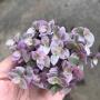 Callisia Repens (tostão variegata)