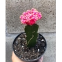 Gimnocalycium Enxertado rosa