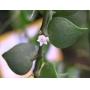 Dichidia Ruscifolia