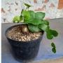 Dioscorea Elephantipes (casco de tartaruga)