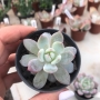 Echeveria Bradburyana
