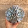 Echeveria Caly argentea bicéfala