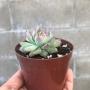 Echeveria Colorata  Baby