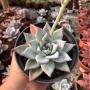 Echeveria Colorata Ice