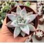 Echeveria Colorata Tapalpa