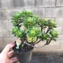 Echeveria Multicaulis arbustiva