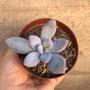 Echeveria Opalina baby
