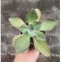 Echeveria Subrigida
