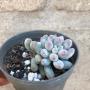 Pachyfitum Baby Finger