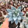 Pachyveria Exotica ( Powder Puff)