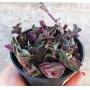 Tradescantia ( callisia) Navicularis