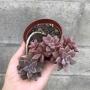 x graptosedum bronze arbustivo