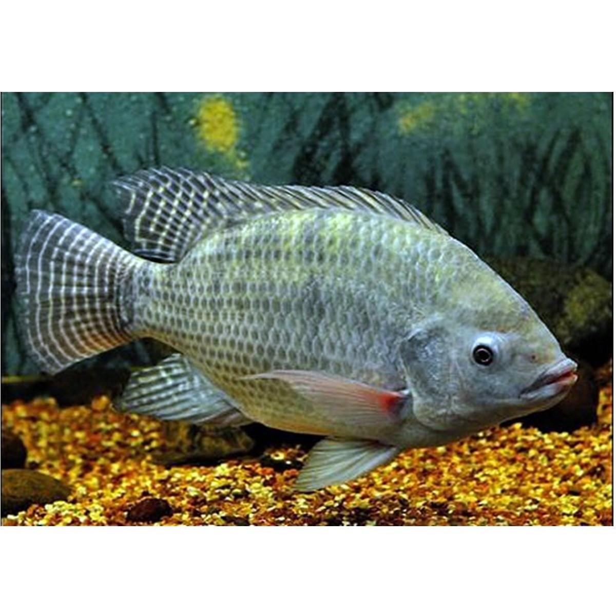 Atrativo Para Pesca Efeito Nuvem Proteinas Vitaminas Aminoacidos 1 Frasco Com 100ml Mix Cloud Baits