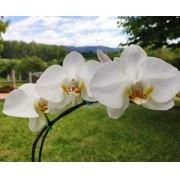 Caixa com 5 Orquídeas Phalaenopsis + Brinde e Frete Grátis