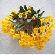 Orquídea Dendrobium Agregatum