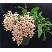 Orquídea Dendrobium Farmeri