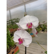 Pacote nº09 Orquídeas Outubro Rosa