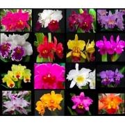 Pacote 30 cores Cattleyas BEBÊ Frete Grátis