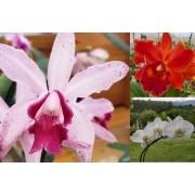 Pacote com 10 Cores Cattleyas Intermédias adultas,  + 1 Phalaenopsis de brinde + 1 Cattleya de brinde