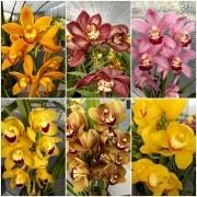 10 Cores Orquídeas Cymbidium + 1 Cymbidium Negra Brinde