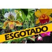 Pacote 5 Paphiopedilum (orquídea Sapatinho), + 1 Phalaenopsis de brinde + 1 Cattleya de brinde