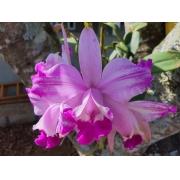 Pacote nº 02 Orquídeas Outubro Rosa