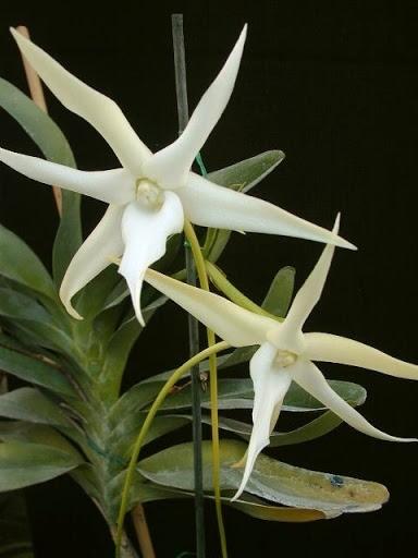 Orquídea Agraecum Sesquipedali