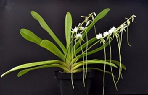 Orquídea Angraecum Eburneum