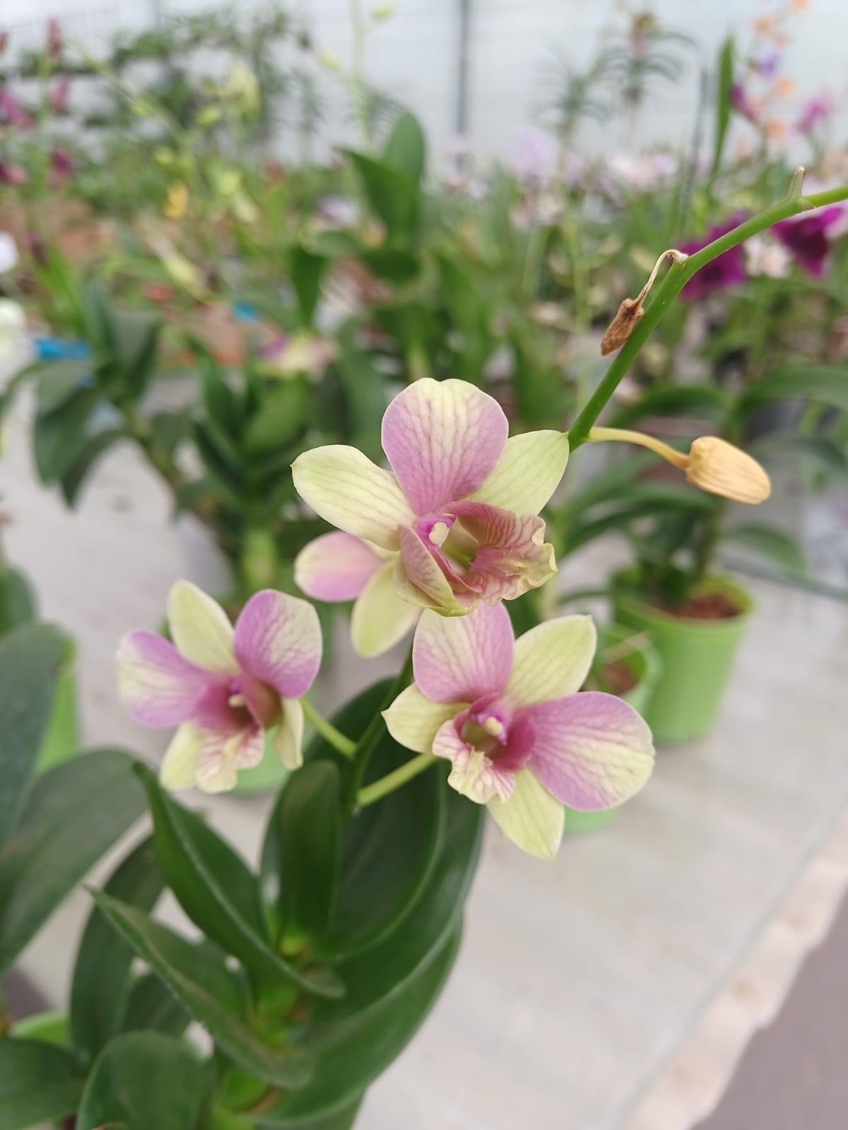 Pacote nº 04 Orquídeas Outubro Rosa