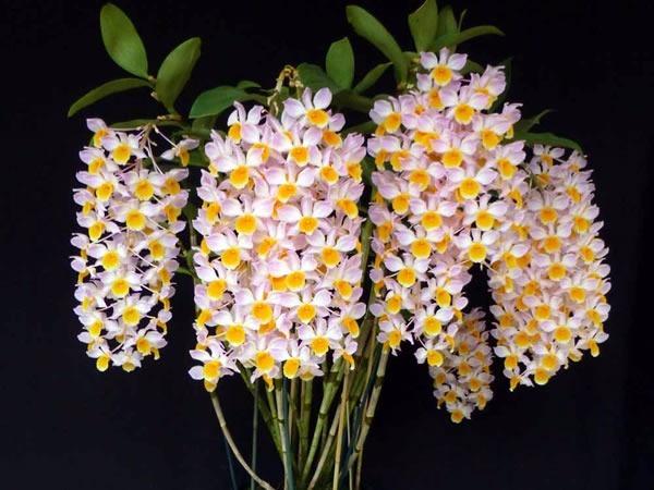 Pacote nº05 Orquídeas Outubro Rosa