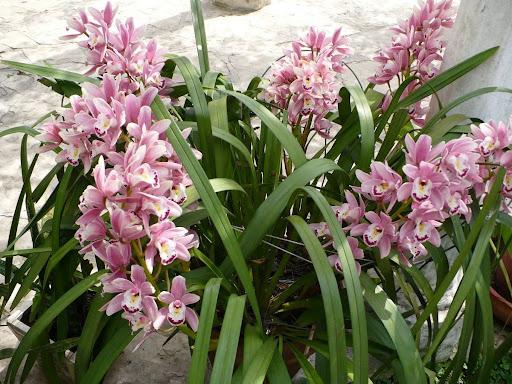 Pacote nº08 Orquídeas Outubro Rosa