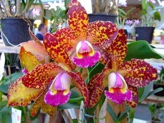 MEGA Caixa Orquídeas NOBRES - 15 Orquídeas