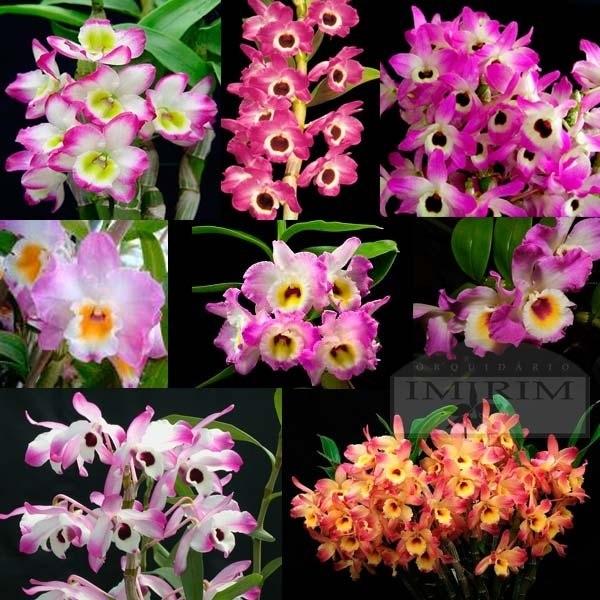 Pacote 10 Orquídeas Outubro Rosa