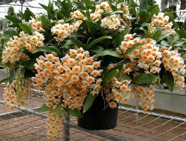 Pacote Orquídeas Dendrobium: 1Thyrsiflorum,  Agregatum, 1 Farmerii, 1 Crisotoxum, 1 Densiflorum, 1 Nóbile + 1Phalaenopsis de brinde + 1 Cattleya de brinde