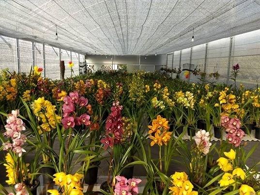 9 Cores Orquídeas Cymbidium, + 1 Cattleya de brinde