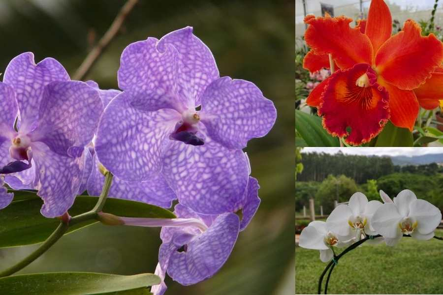 Pacote 10 Vandas adultas, +1 Phalaenopsis de brinde +1 Cattleya de brinde