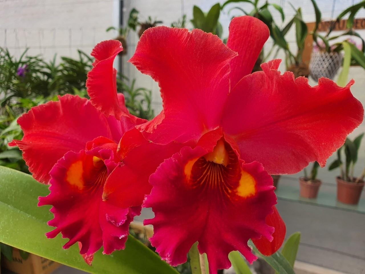 PACOTE DO DIA DAS MÃES com 15+1 Orquídeas Especiais