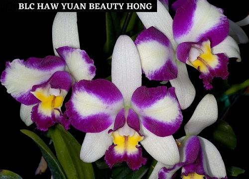 PACOTE DOS SONHOS (20 Orquídeas + 15 orquideas BRINDE)